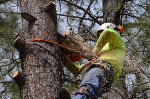 Picture of our employee in a tree cutting down a branch for or customer in Cleveland, OH